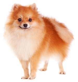 20 pound pomeranian miniature breeds