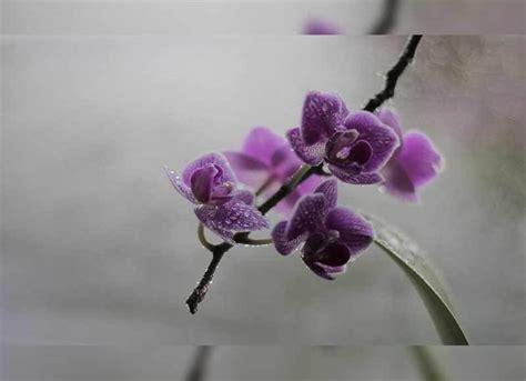 wallpaper bunga violet 35 jenis bunga anggrek indonesia lengkap dengan gambar
