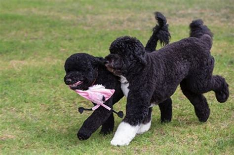 presidential dogs bo obama gets a playmate obamas adopt another ny daily news