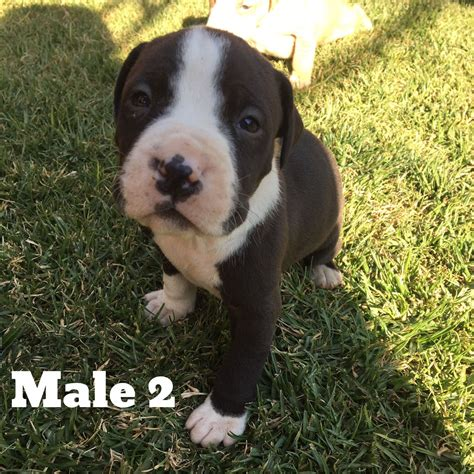 pitbull puppies for sale in washington pitbull puppies for sale in johannesburg by martie1979