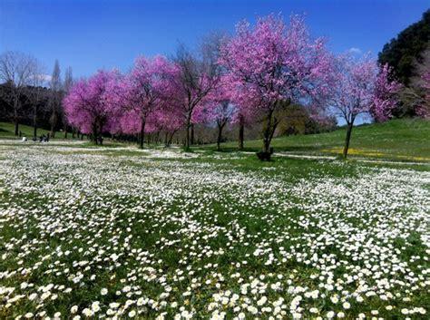 alberi fioriscono in primavera arriva la primavera in fiore gli alberi di giuda di roma