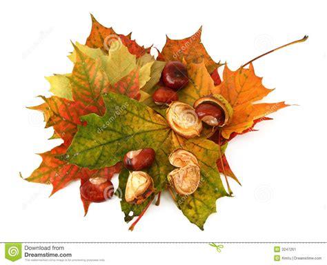 clipart castagne foglie di acero e castagne 2 immagine stock immagine