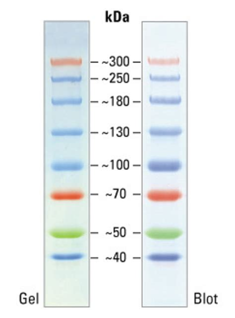 high range spectra multicolor high range protein ladder thermo