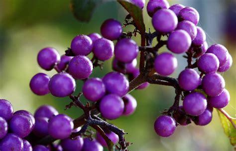 image gallery purple berries