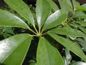 schefflera une plante verte d int 233 rieur robuste et