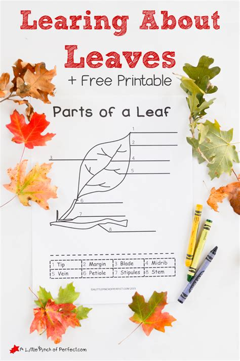 printable preschool leaf activities learning about leaves explore color and label free