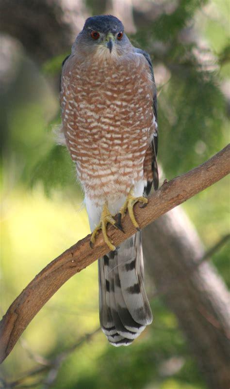 coopers hawks coopers hawk pictures coopers hawk birds of westwood cooper s hawk