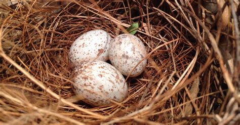 what color are cardinal eggs color of cardinal eggs future1story