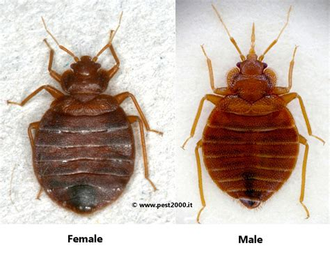 female bed bug female bed bugs 28 images bb id needed please and
