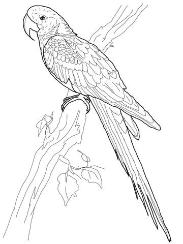 hyacinth macaw coloring page patterns to do pinterest