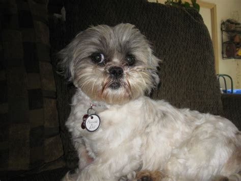 maltese and shih tzu difference maltese shih tzu lhasa apso lhasa apso shih tzu dogs breeds picture shih tzu