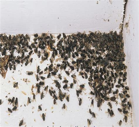 get rid of flies in house how to get rid of cluster flies in the house