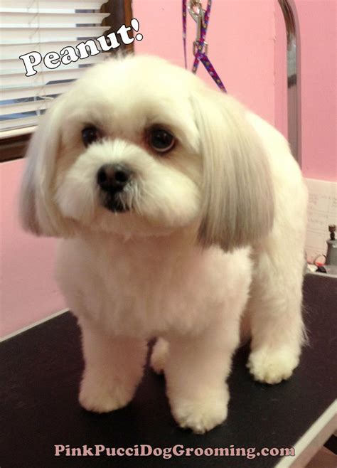 best shoo for shih tzu dogs best 20 haircuts ideas on grooming styles schnauzer cut and