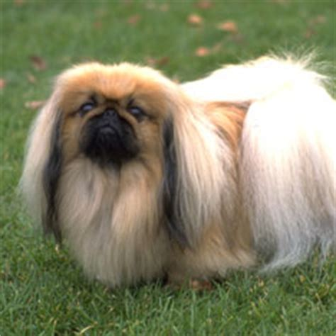 akc pekingese puppies for sale pekingese puppies for sale akc puppy finder
