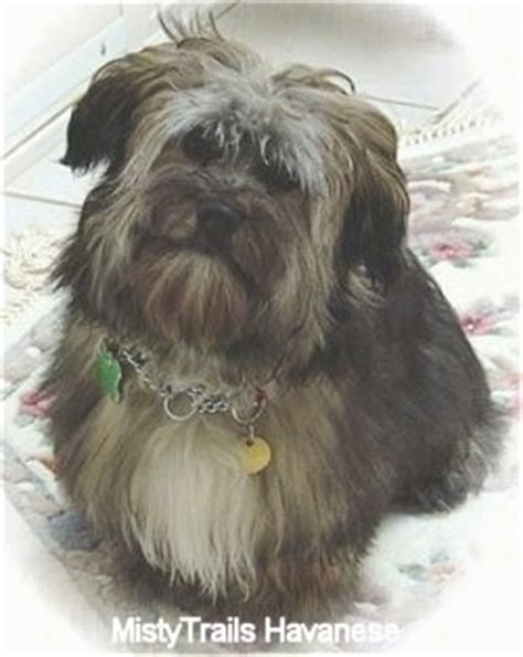 silver havanese breed of the month havanese breeds picture