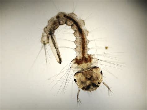 how to kill mosquitoes in home how to kill mosquito larvae a practical guide
