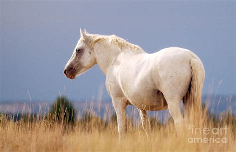 white mustang horse white mustang photograph by heather swan