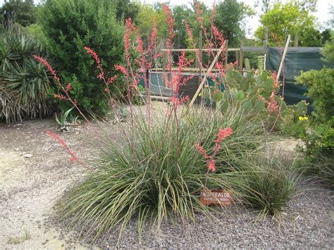 How To Landscape Your Front Yard File Hesperaloe Parviflora Ponteilla Jpg Wikimedia Commons