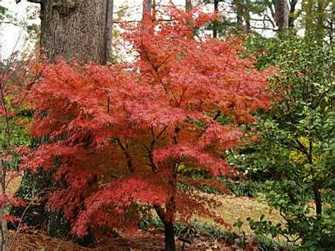 maple tree growing conditions japanese maples for glorious fall color east gardening