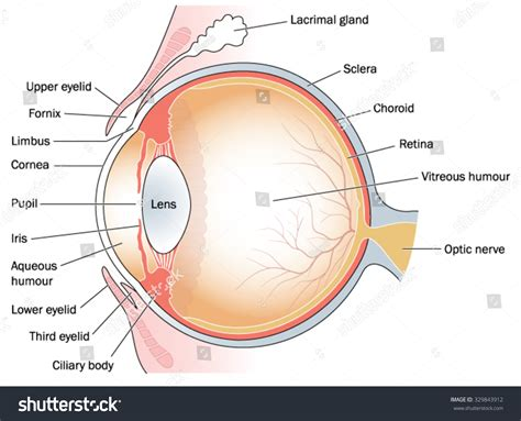 cross section of the human eye cross section through eye eyelids including stock vector