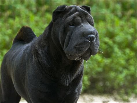 black shar pei puppy the gallery for gt black shar pei