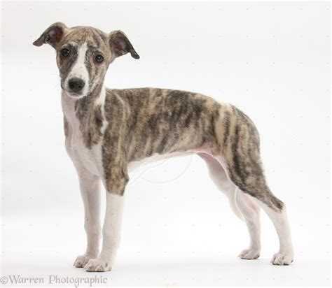 whippet breed whippet puppy breed the original whippets were thought to be greyhounds