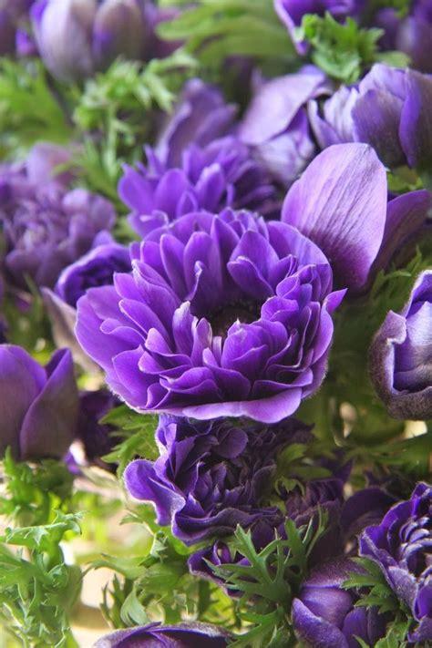 Anemone Monarch Purple Flowers Gardens Pinterest Purple Flowers For Garden