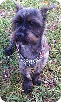 shih tzu rescue glasgow oswego il shih tzu scottie scottish terrier mix meet archie a for adoption