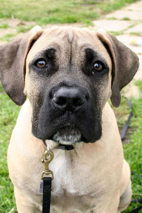 Labrador Afrika 1 boerboel puppy so mastiff a healthy