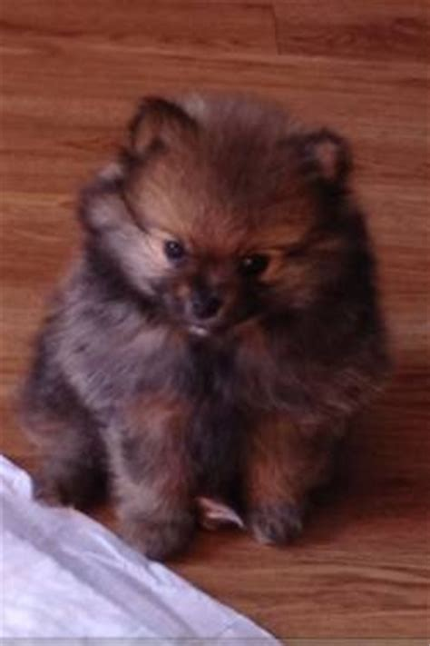 pomeranian brown brown teacup pomeranian my puppy teacup pomeranian brown and it is