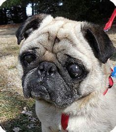 pugs for adoption in ma adopt me