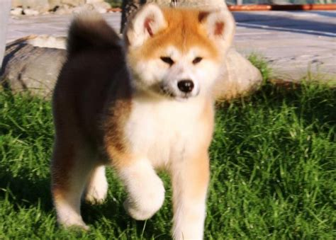 hachi breed hachiko breed breeds picture