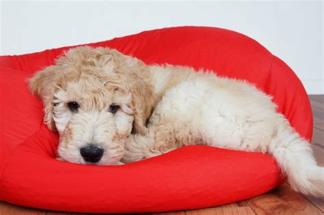 how to bathe a goldendoodle puppy how to clean your goldendoodle archives goldendoodles 101