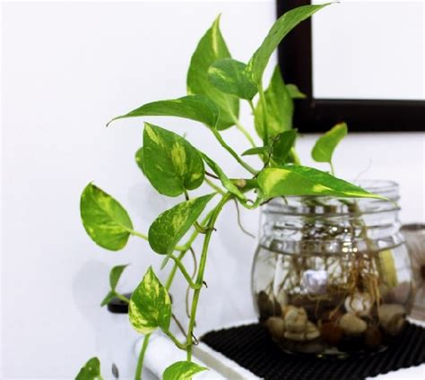 Daun Rambat Hias Besar Bunga Plastik Hiasan Dekorasi Gedung 20 tanaman hias indoor untuk kesehatan dan keindahan