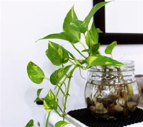 tanaman hias ruangan  kesehatan rumahku