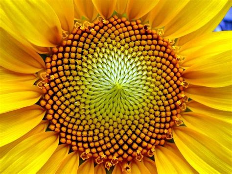 sunflower fibonacci sequence golden section sunflower macro by rehula the quot golden section quot and