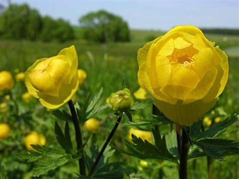 fiori gialli selvatici gialli fiori selvatici nella palude fiori di co
