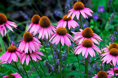pink babies cone flowers pinterest