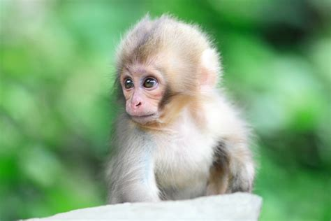 Monkey Wallpaper by Cute Monkey Wallpapers Wallpaper Cave