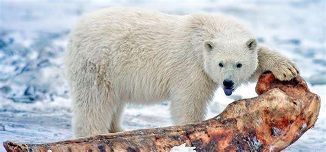 imagenes animales polares oso polar informaci 243 n qu 233 come d 243 nde vive c 243 mo nace