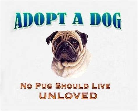 adopt a pug 214 best images about pug pics on pug meme pug and pug