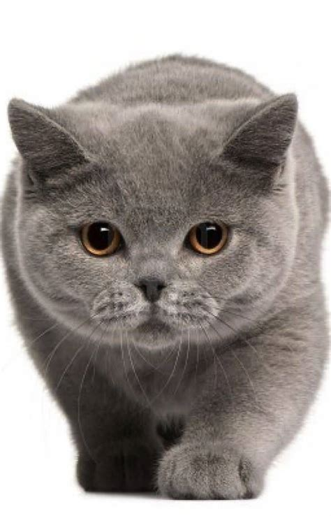 cat hair 50 lovely shorthair cat images golfian
