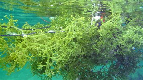 Rumput Laut Euchema Cottoni seaweed eucheuma cottonii products malaysia seaweed