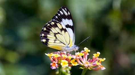 butterfly wallpaper butterfly on flower wallpaper mobile desktop background
