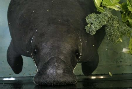 Brownies Manaree 71 best images about snooty on local news jungle gardens and manatees