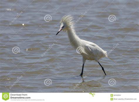egret color reddish egret in plumage brown hairs