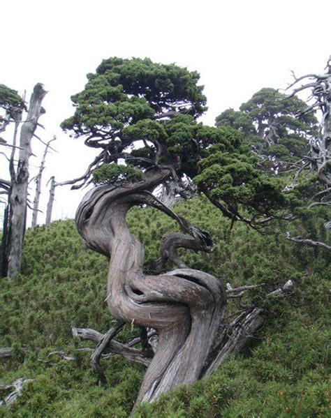 Bibit Jambu Air Delima el tim goes bonsai bark