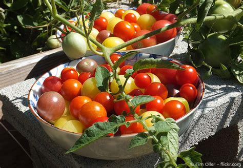 Tomaten Im Garten by Tomaten Im Garten Selber Anbauen Garten Hausxxl Garten Hausxxl