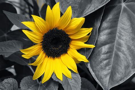 immagini in bianco e nero di fiori foto gratis girasole giallo bianco e nero immagine