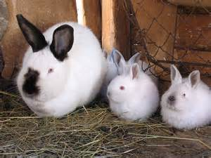 Raising Meat Rabbits Your Backyard An Introduction To Raising Rabbits For Meat Proverbs 31